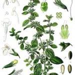 Le 5 erbe che aiutano a tenere lontane le zanzare