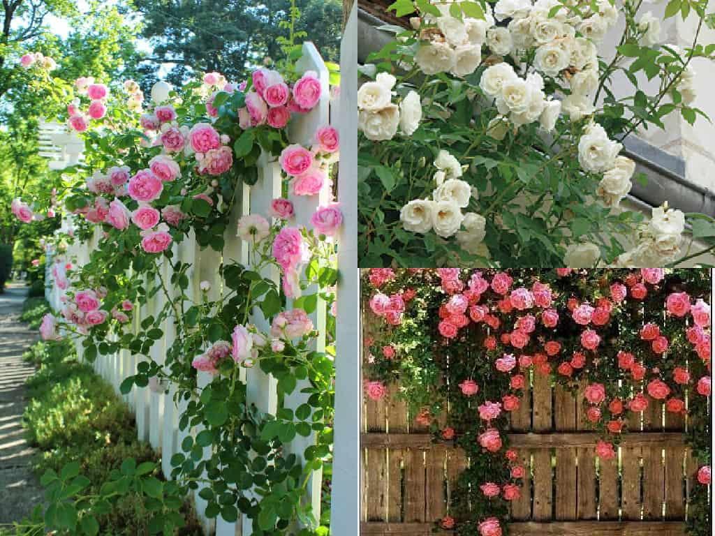 Ricoprire la recinzione con rose rampicanti alcuni for Rose da giardino
