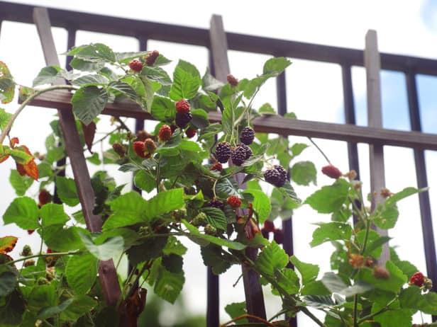 Come coltivare more e lamponi