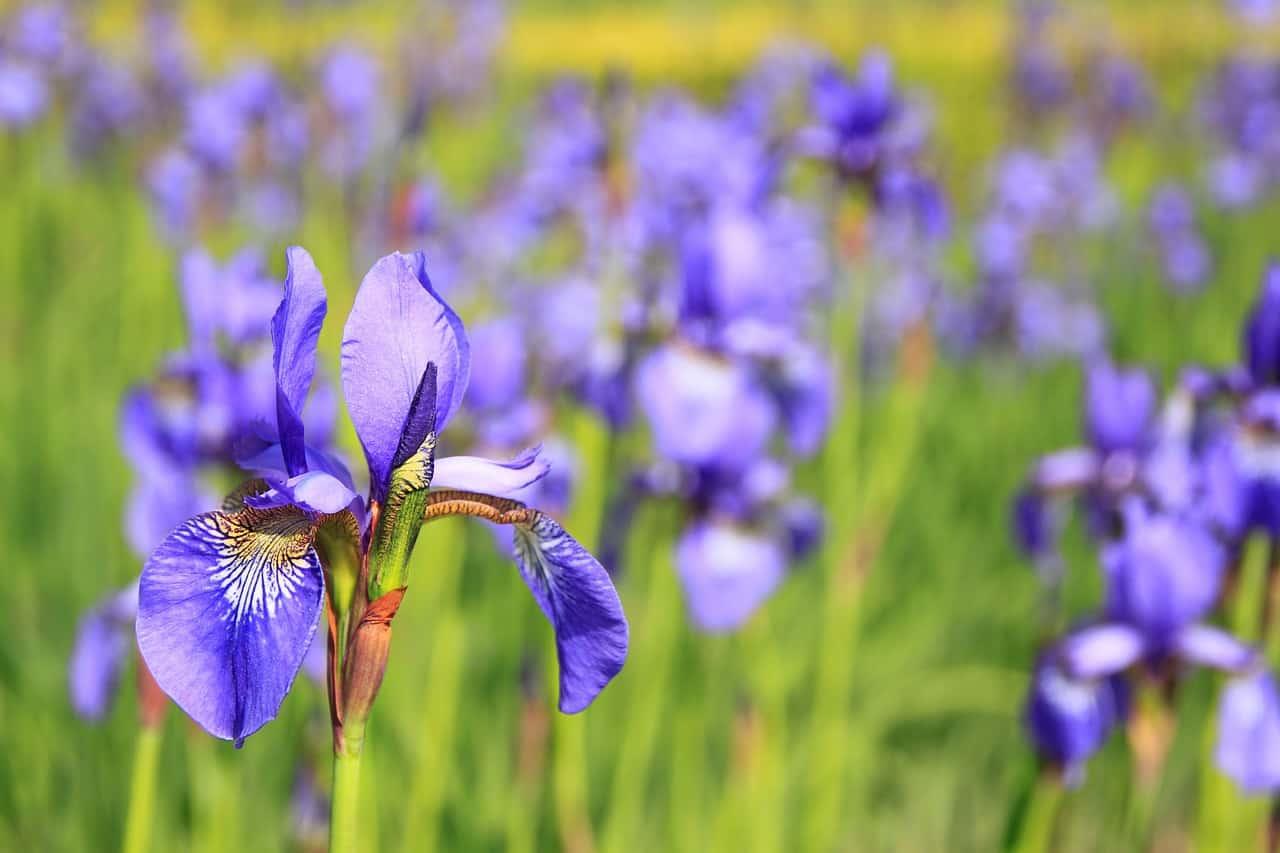Come coltivare l'Iris barbato