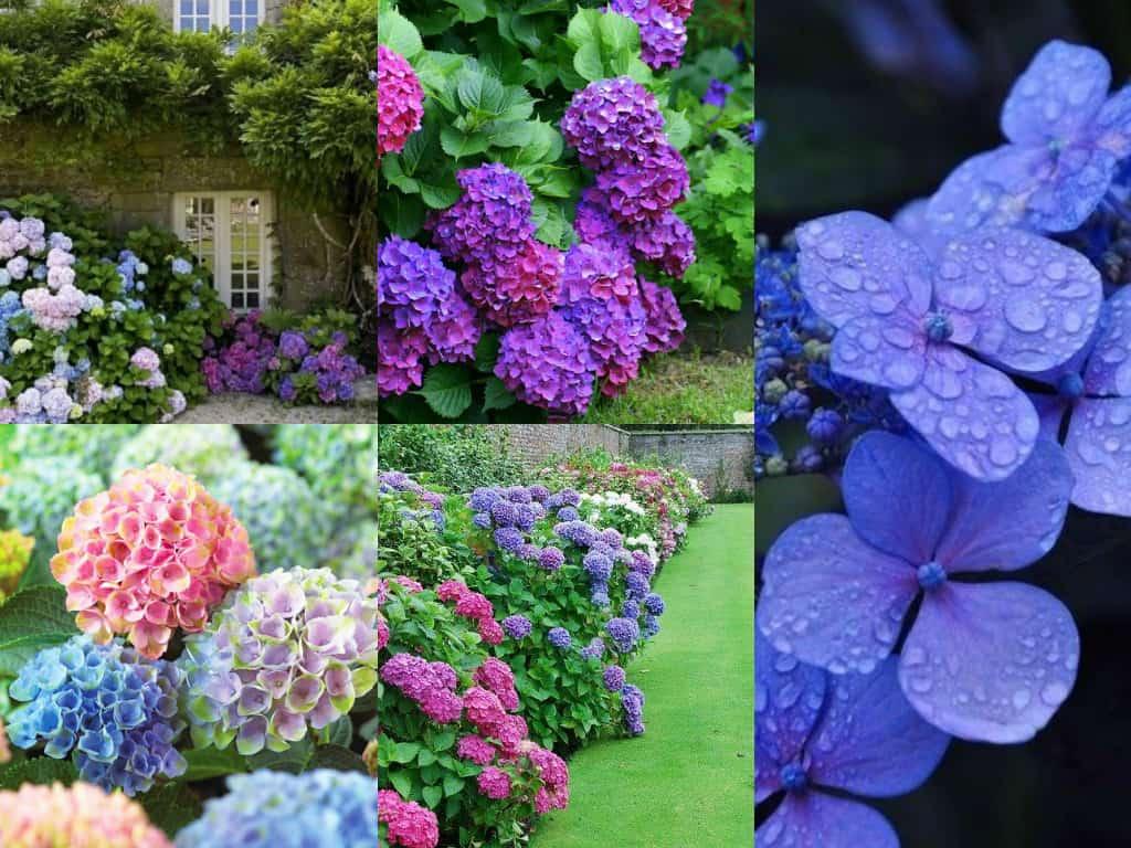 Come Curare Le Ortensie ortensie - guida giardino
