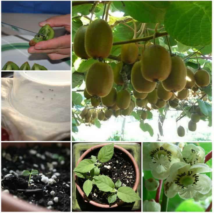 Come coltivare i kiwi partendo dalle sementi
