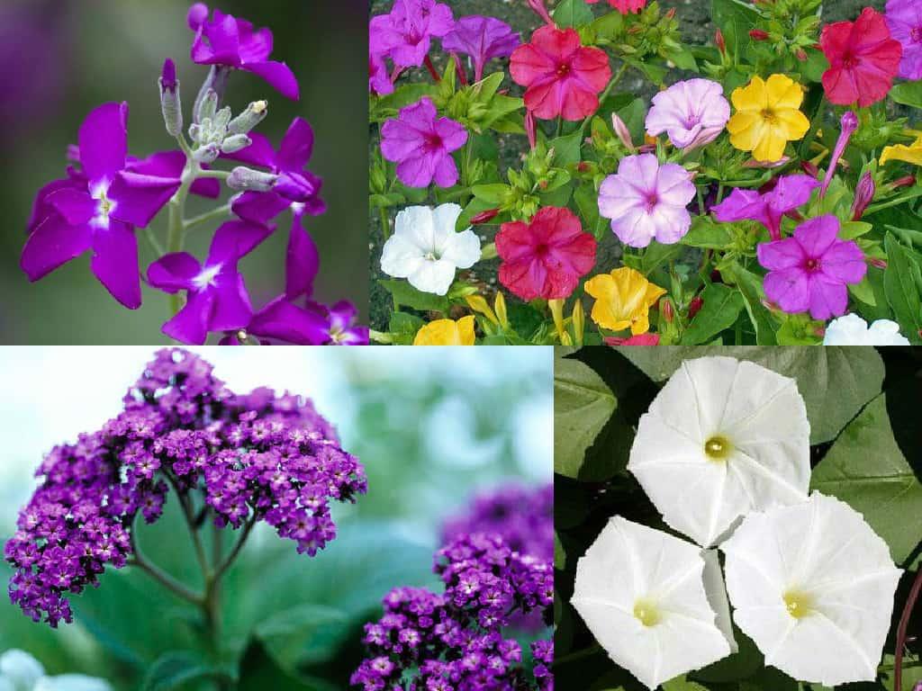 Fiori Da Vaso Perenni 8 piante fiorite gradevolmente profumate - guida giardino