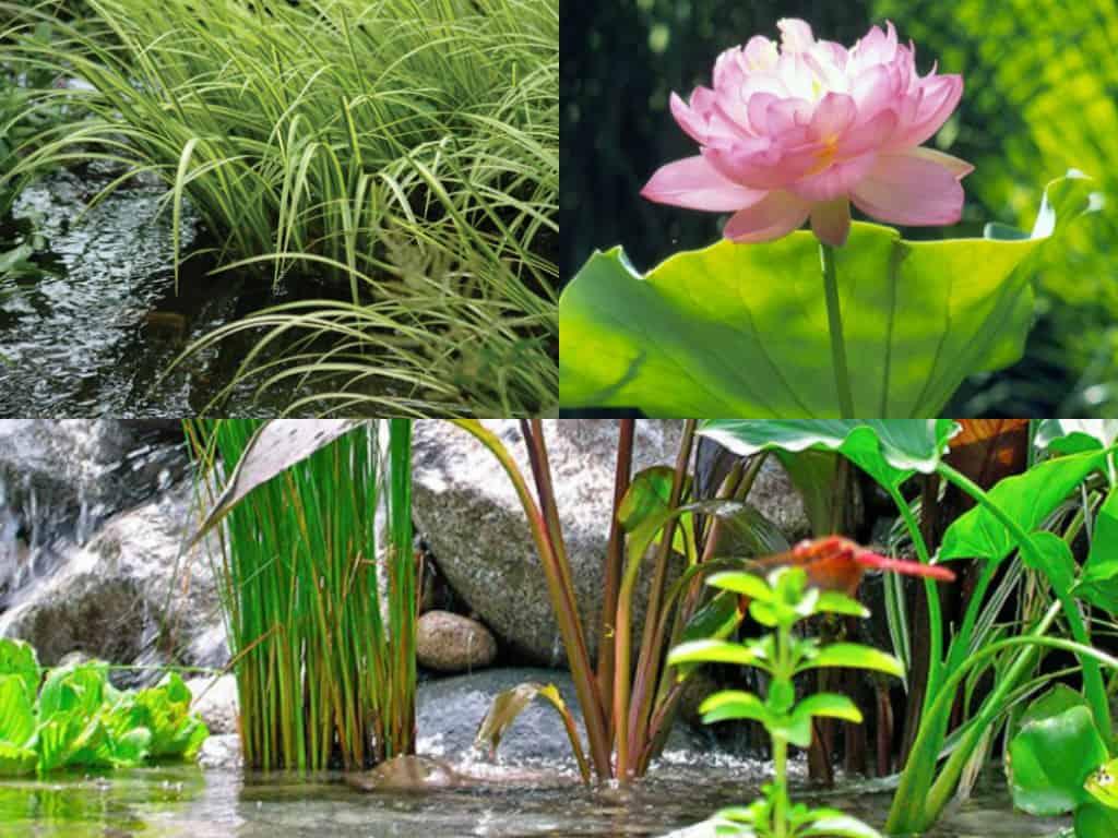 5 piante ideali per il laghetto