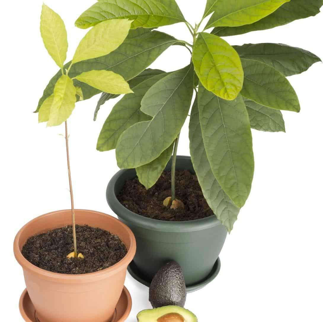 Nocciolo Di Avocado In Acqua come coltivare la pianta dell'avocado - guida giardino