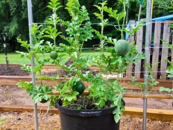 Come coltivare le angurie in vaso