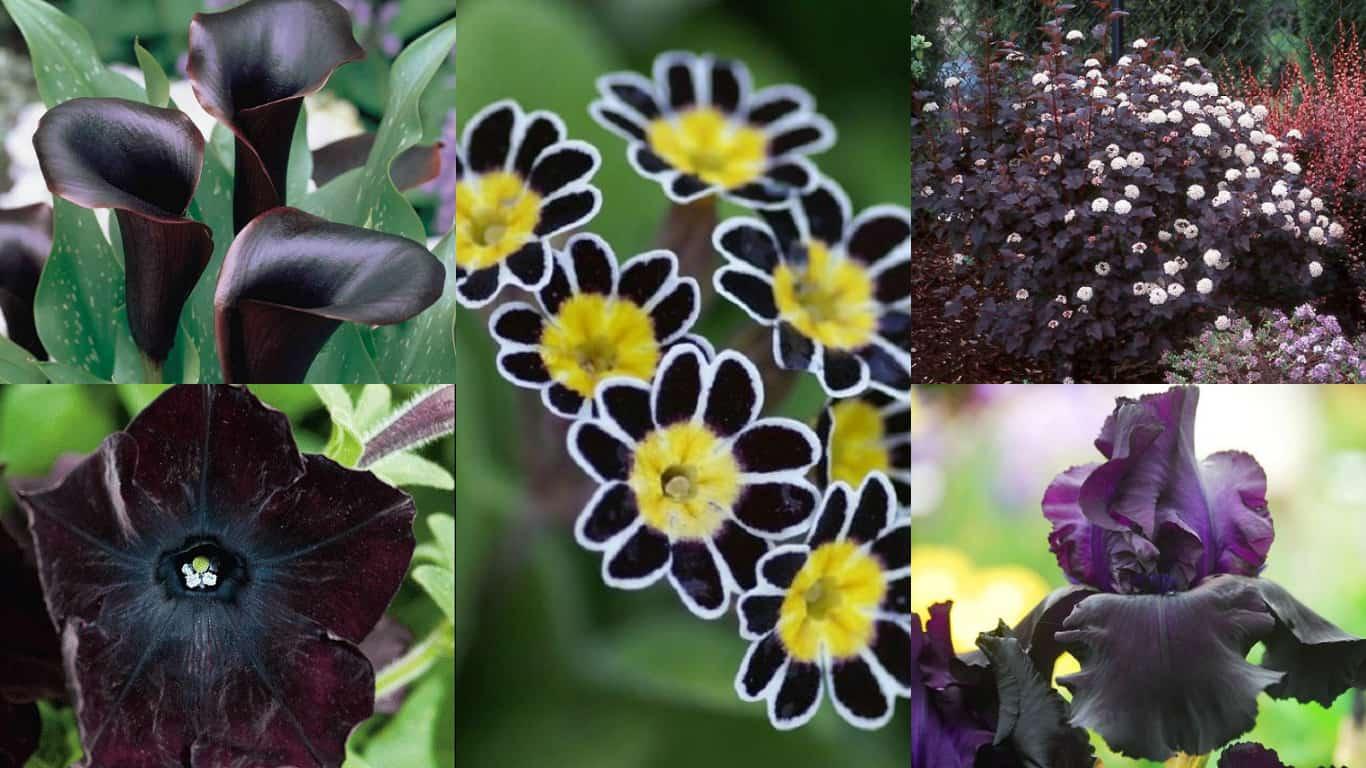 Piante e fiori neri, per dare un tocco di stile al giardino