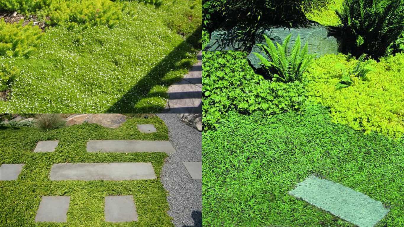 Fiori Tappezzanti Per Aiuole piante tappezzanti: 5 specie - guida giardino