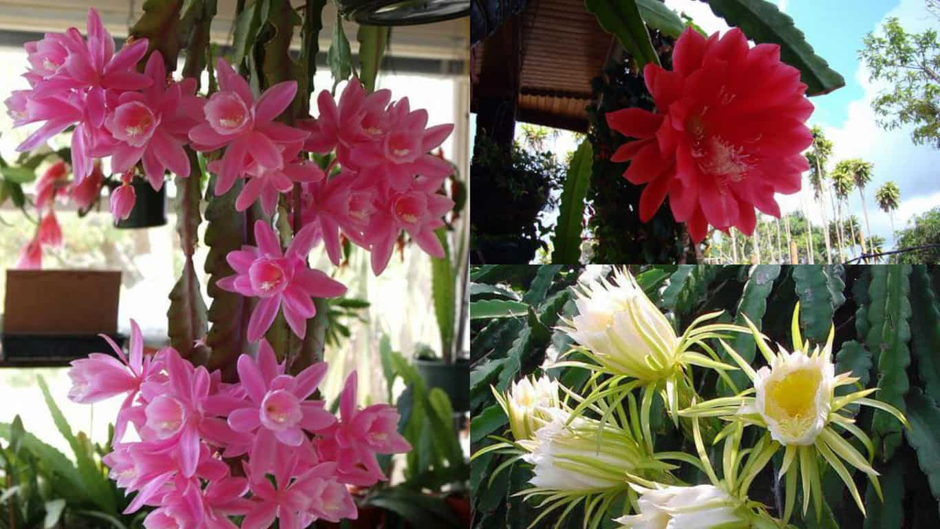 Come coltivare il cactus orchidea