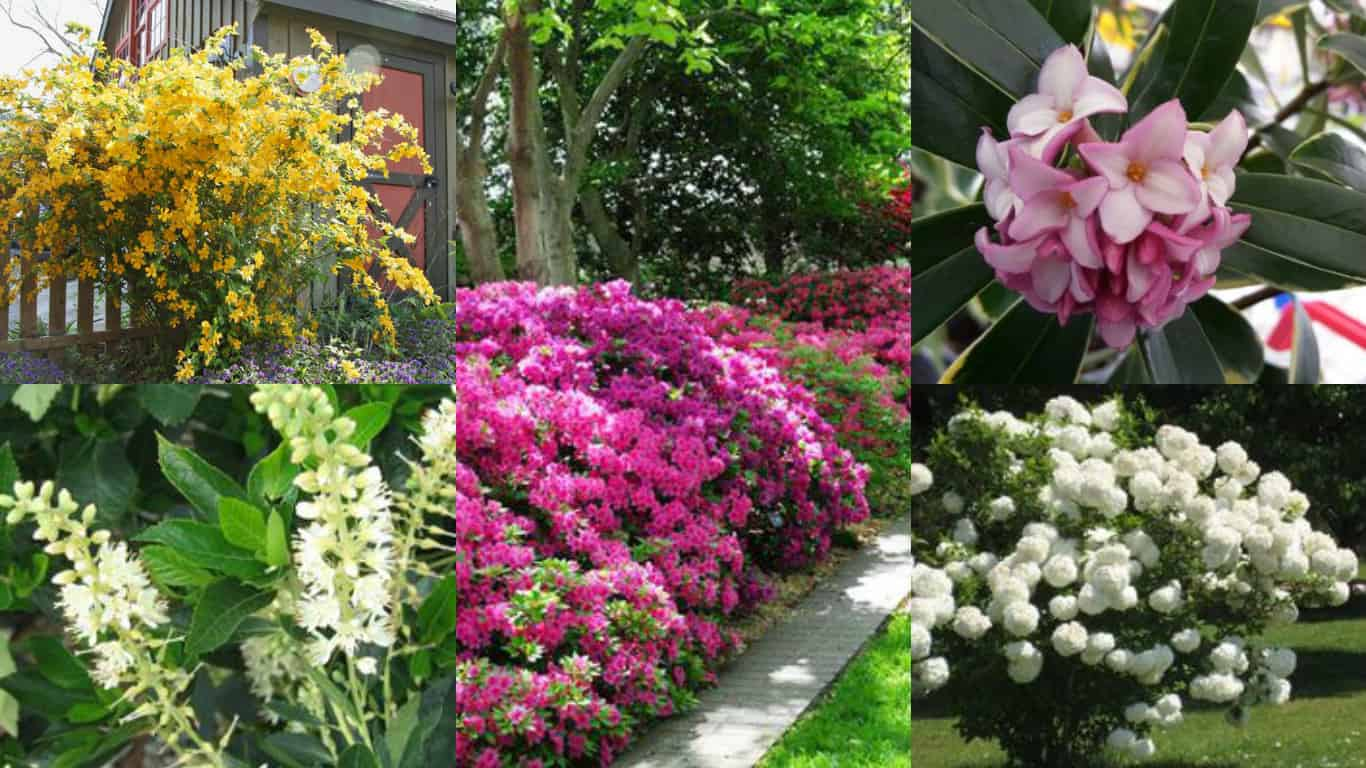 Alberi Nani Da Giardino 12 arbusti ideali per la coltivazione in ombra - guida giardino