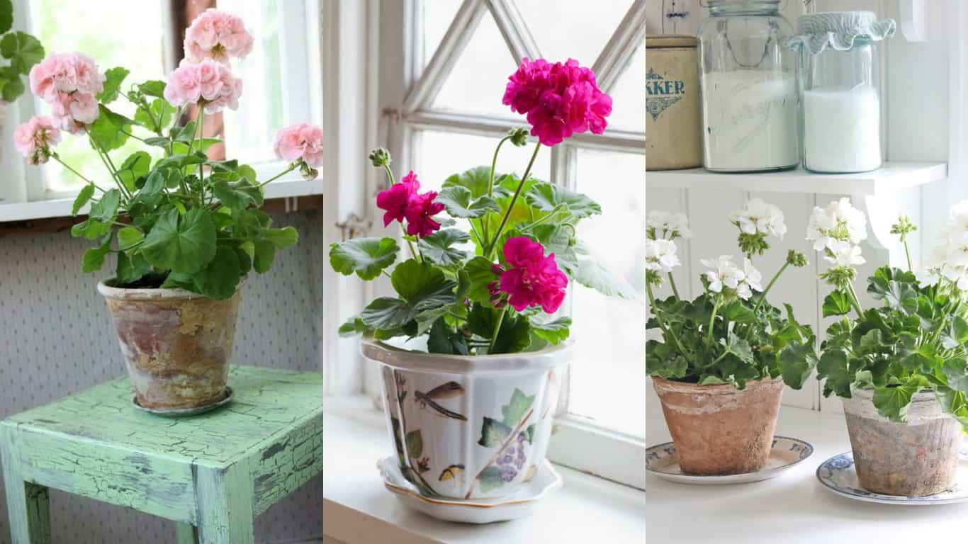 Geranio: coltivarlo come pianta d'appartamento