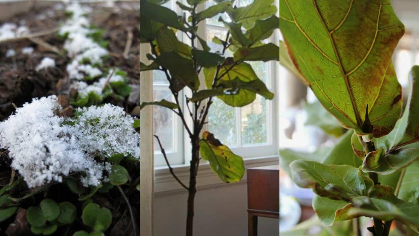 7 suggerimenti per prendersi cura di una pianta che ha sofferto il freddo