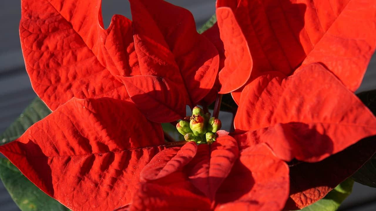 Stelle Di Natale Da Costruire tutto quello che c'è da sapere sulla stella di natale