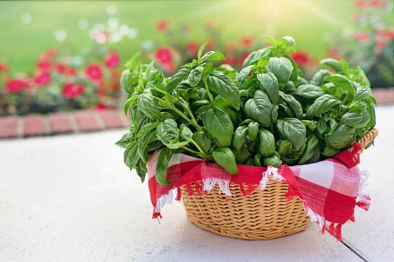 Come coltivare il basilico (e farlo durare a lungo)