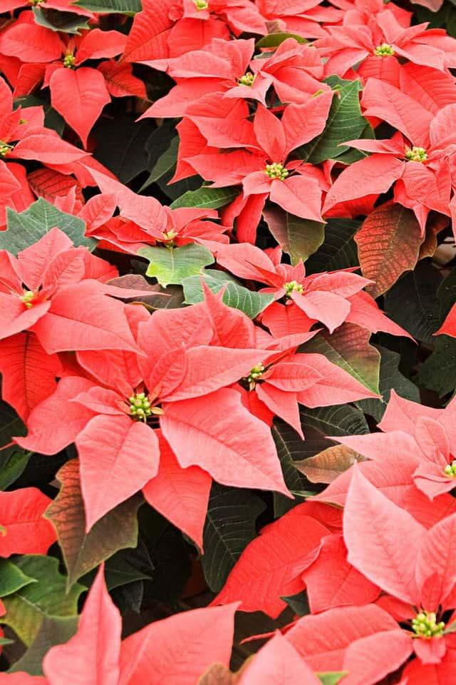 Le più belle piante di Natale