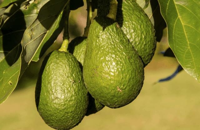 Come coltivare l'avocado (aiutandovi coi kit)
