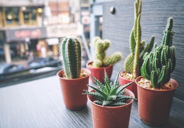 11 tipologie di cactus che puoi coltivare anche a casa