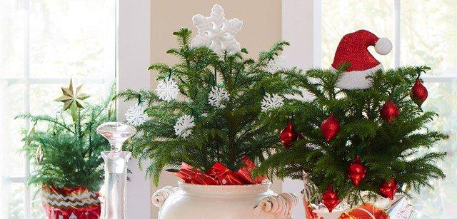 Pino del Norfolk: una pianta originale perfetta per Natale