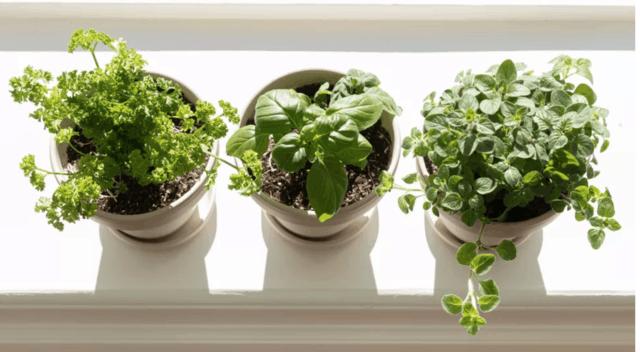 5 erbe aromatiche che è meglio coltivare in vaso