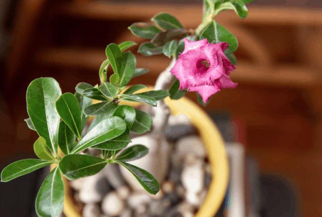 Come coltivare la Rosa del deserto